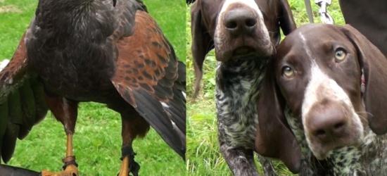 Psy i ptaki, nieodłączni kompani podczas polowań. Za nami 16. Rykowisko Galicyjskie w Zagórzu (FILM)
