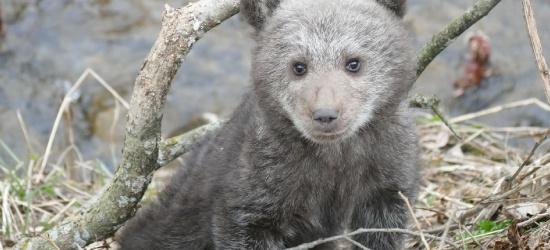 Głody i samotny niedźwiadek uratowany w Bieszczadach (FILM, ZDJĘCIA)