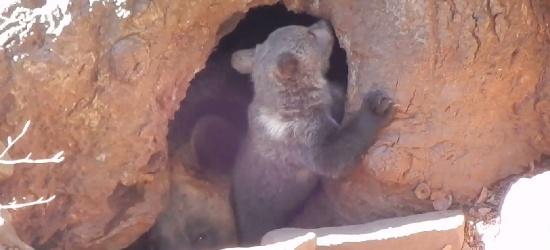 BIESZCZADY: Małe niedźwiadki harcują w najlepsze (VIDEO)